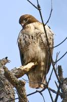 Red-tailed Hawk Eyeing Me