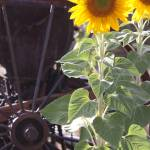 """Antique Wheel and Sunflower"" by CarrieAnderson"