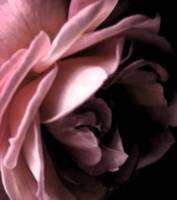 Abstract Rose    0365