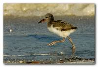 Baby American Oyster Catcher