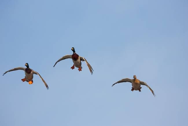 Mallard ducks locked up