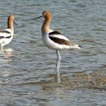 """American Avocet  1"" by Coloradographicalchemy"
