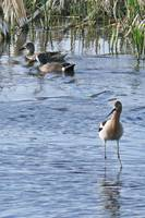 Blue-winged Teal and American Avocet