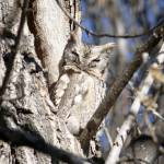 """Eastern Screech-Owl 1"" by Coloradographicalchemy"
