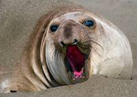 Northern Elephant Seal,  mirounga angustirostris,