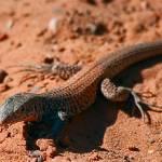 """Western Whiptail Lizard"" by johncorney"