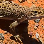 """""""Long-Nosed Leopard Lizard"""" by johncorney"""