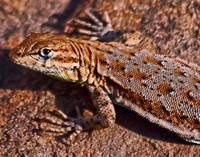 Side Blotch Lizard