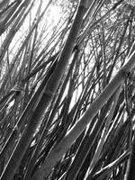 among the bamboo