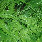 """Green Ferns"" by Chamberlin"