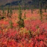 """Yukon Autumn"" by theeleganthedgehog"