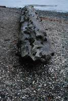 Driftwood Log
