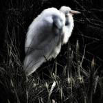 """Egret Facing The Day"" by bavosiphotoart"