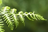 Stretching Fern 328