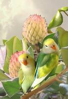 Lovebirds in Magnolia Tree