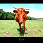 """cow"" by JCPics"