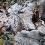 """""""Frozen autumn leaves"""" by DieBlaueBlume"""
