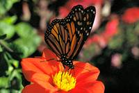 Monarch Butterfly#2