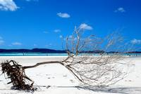 Lost tree at Whitehaven Beach