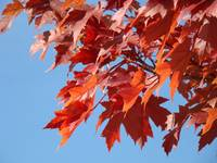 Red Leaves art print Blue Sky Autumn Landscape