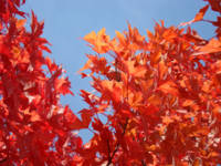 Fall Trees art print Red Orange Autumn Leaves