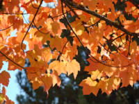 Sunlit Autumn Leaves art prints Orange Tree