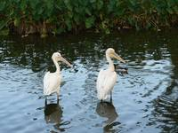 Two Egrets in the Swamp