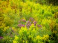 Asters in the Goldenrod