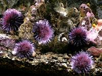 A Horde of Urchins I