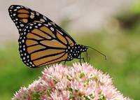 The Beauty Of A Monarch