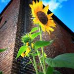 """City Sunflower"" by paulhood"