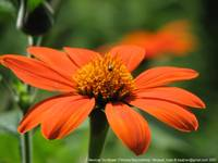 Mexican Sunflower [Tithonia rotundifolia]