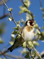 Perched Goldfinch