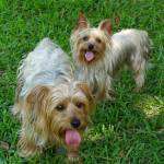 """Two Yorkies"" by kpitre"