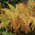 """Fall Ferns on the Blue Ridge"" by rderder"