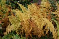 Fall Ferns on the Blue Ridge