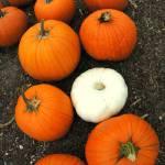 """pumpkins2"" by easnyder"