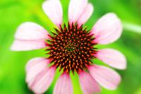 Purple Cone Flower Close-Up