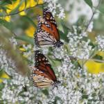 """""""Butterfly Twins"""" by kcmodb"""