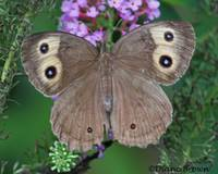Migrating Butterfly
