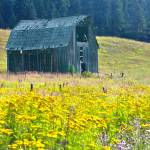 """Barn with Yellow Common Tansy Flowers"" by SamSherman"