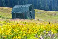 Barn with Yellow Common Tansy Flowers