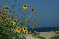 Sandy Hook dunes in bloom