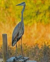 Great Blue Heron on Alert