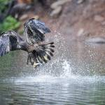"""Young Bald Eagle / Woods Canyon Lake / Arizona"" by ENKPHOTOGRAPHY"