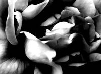 Rose       0394   Black and White Edit