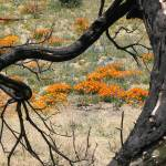 """California Poppies through Burnt Tree"" by hawksmom"