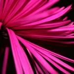 """""""Chrysanth Bloom"""" by aviaperture"""