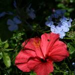 """Hibiscus Tropica"" by aviaperture"
