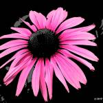 """""""Pink Dream"""" by MHP-Photography"""